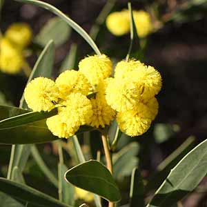 Wattle Tree Flower