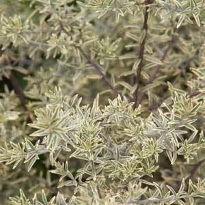 Westringia fruticosa - Sea Mist