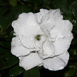 White flowering Azalea indica 'Aline'
