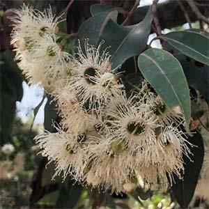 White flowering gum tree nurseries online white flowering gum tree mightylinksfo