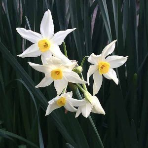 White Jonquil Flowers