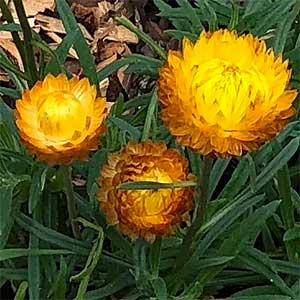Xerochrysum bracteatum - Golden Everlasting