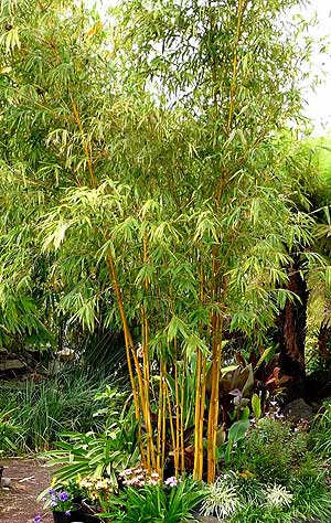 China Gold Bamboo