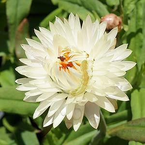 Xerochrysum bracteum 'White Monarch'