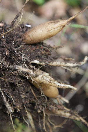 Yacon tubers and rhizomes