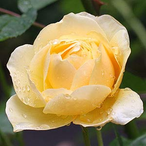 Yellow Rose in the Rain