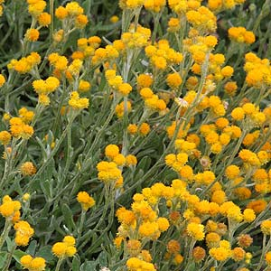 Ground Cover Plants Nurseries Online