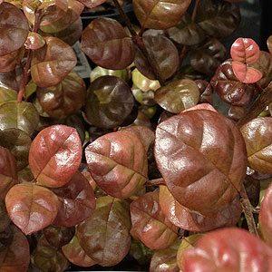 Lophomyrtus-bullata