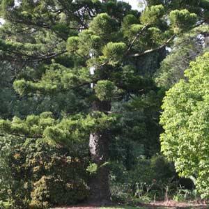 Araucaria cunninghamii is the Hoop Pine