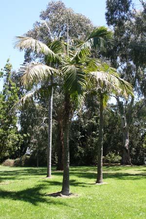 Bangalow Palm - Archontophoenix cunninghamiana