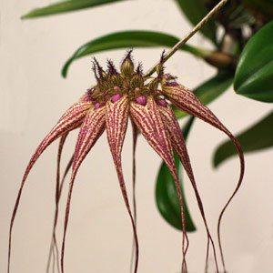 Bulbophyllum Elizabeth Ann 'Buckleberry'