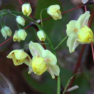 Epimedium x versicolor neosulphureum