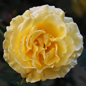 Gold Bunny Floribunda Rose