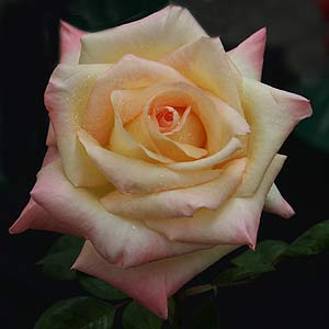 Diana Princess of Wales Hybrid Tea Rose