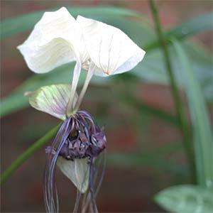 Tacca integrifolia - The Bat Plant