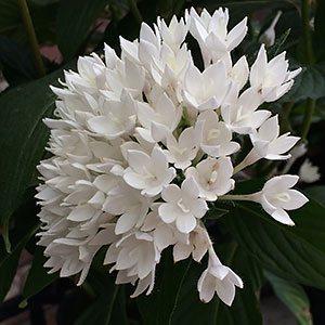 White Pentas lancelota