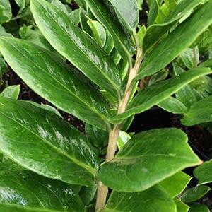 Zanzibar Gem Plant - Zamioculcas zamiifolia - The ZZ Plant
