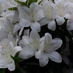 Azalea 'Alba Magnifica'