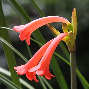 Cyrtanthus obrienii