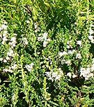 Calluna-Spring-Cream
