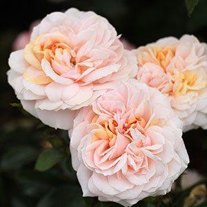 Garden Of Roses - (C) Gary Matuschka