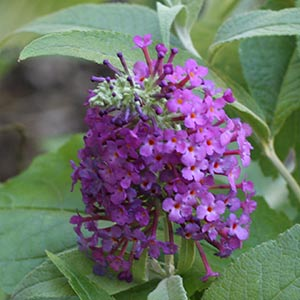 Buddleja Buzz - New Release