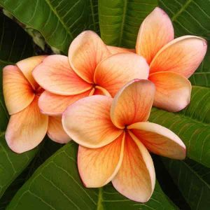 Frangipani India -Burnt Orange