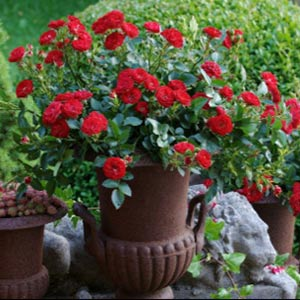 Mandy - New Releas Miniature Rose