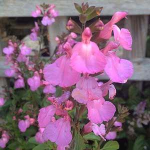 Salvia microphylla Heatwave Glitter