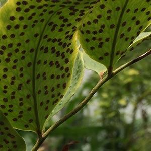 Cyrtomium macrophyllum - Spores
