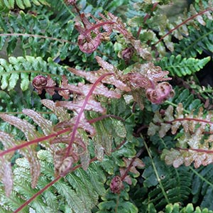 Doodia media - Common Rasp Fern