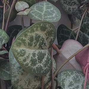 Chain of Hearts Plant - Ceropegia woodii