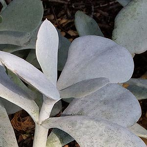 Cotyledon orbiculata 'Silver Waves'
