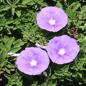 Convolvulus sabatius Flowers