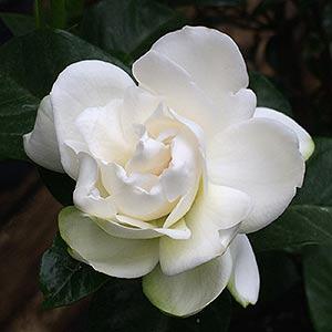 Gardenia  'Professor Pucci'