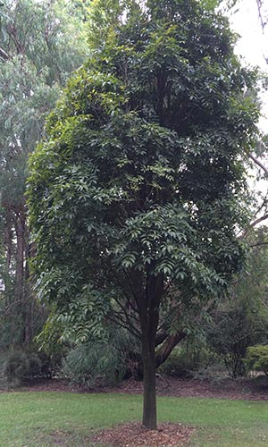 Castanospermum australe - An Australian Rainforest Tree