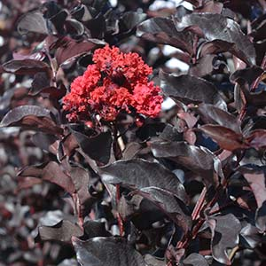 Diamond in the Dark Crepe myrtle - Melbourne Garden Show 2016