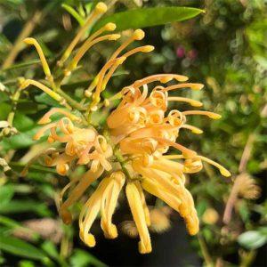 G. rhyolitica 'Deua Gold'
