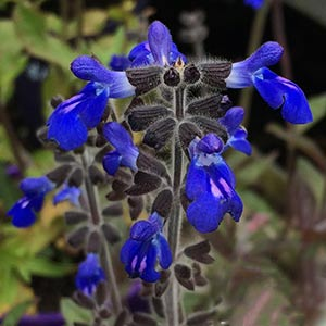 Salvia sinaloensis 'Aztec Blue'