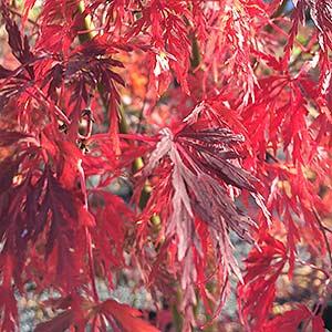 Acer Palmatum Dissectum Seiryu A Lace Leaf Japanese Maple