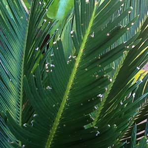 Cycad leaves being  eaten.