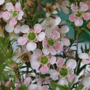 Leptospermum flavescens 'Cardwell Pink'