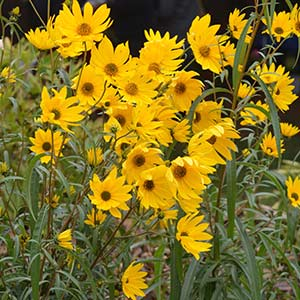 Helianthus x multiflorus - Perennial Sunflower
