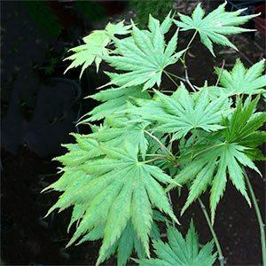 Acer shirasawanum Palmatifolium