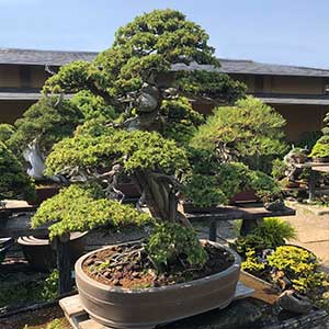 Bonsai Tree Variety - Advanced