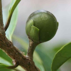 Brunfelsia jamaicensis Seed Pods