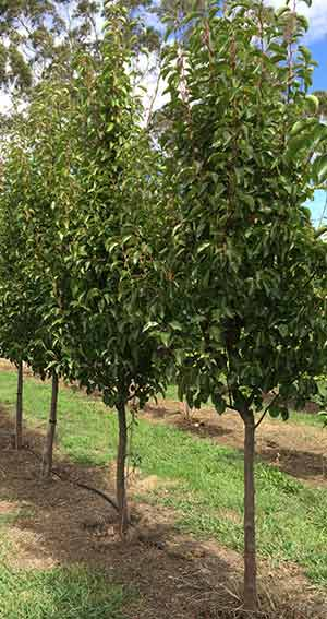 Field Grown Advanced Trees - Pyrus