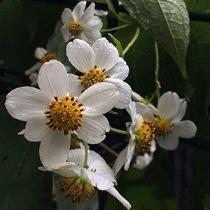 Montanoa leucantha subsp. arborescens - Mexican tree Daisy