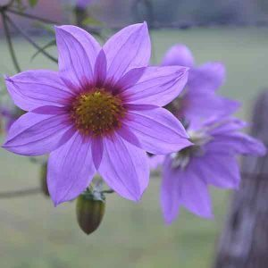 Dahlia imperialis - The Tree Dahlia