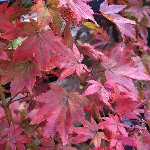 Acer Palmatum Coonara Pygmy A Dwarf Japanese Maple